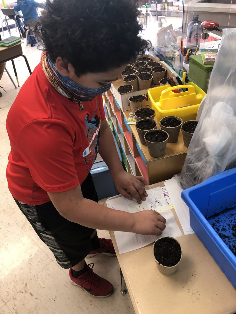 A second grade boy in a short-sleeve red shirt wearing a mask plants his seeds in a small cup of dirt.